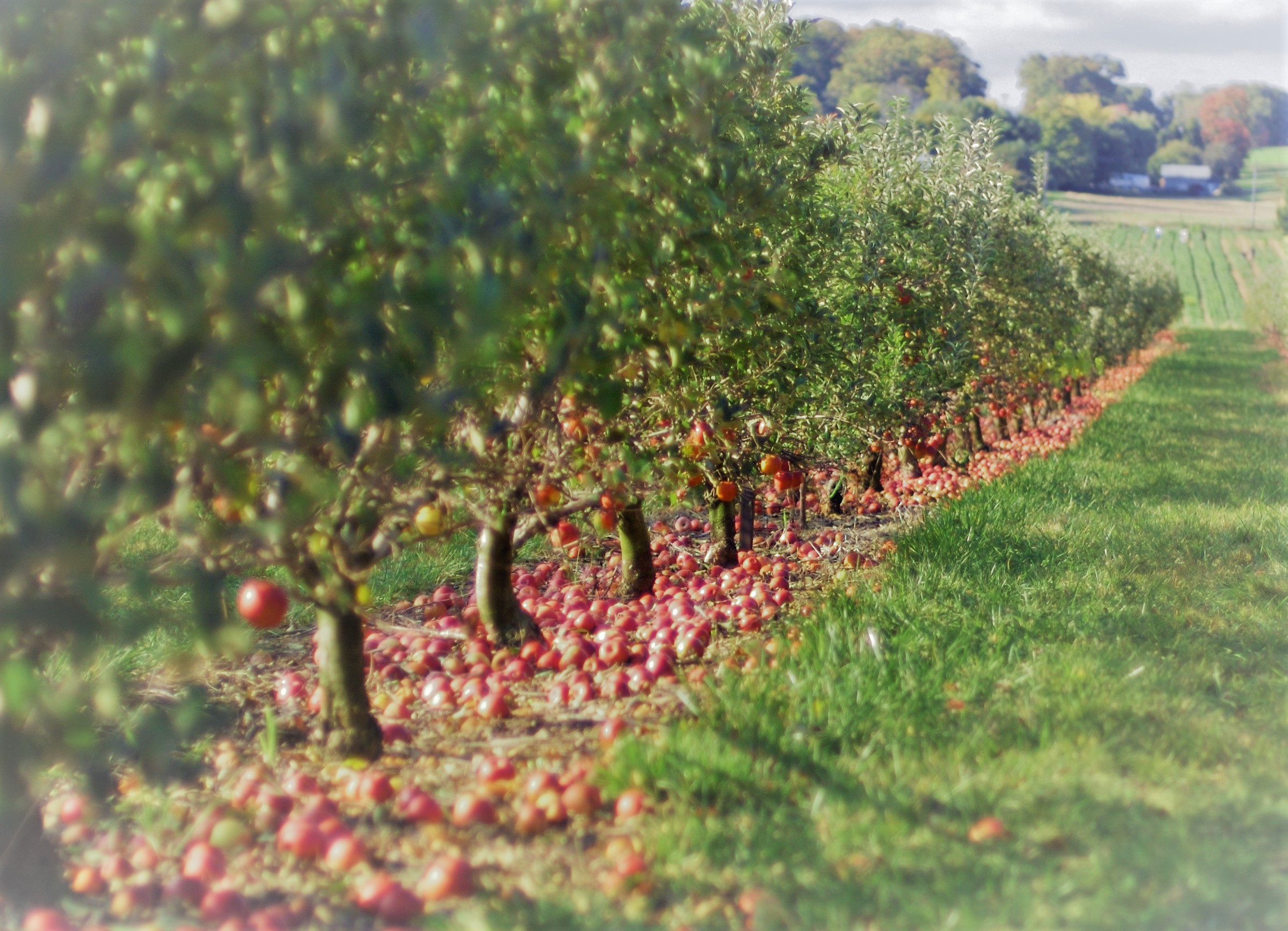 apple-orchard-Cropped.jpg